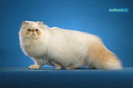pisică Himalaya pisică Himalaya rasa