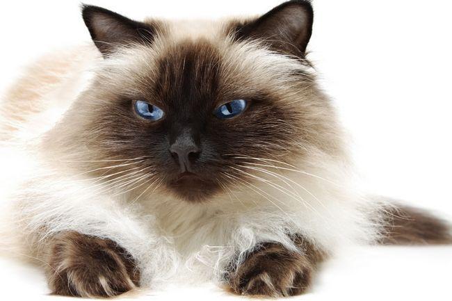 Хималайска котка