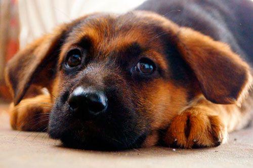 Hiperadrenokorticizam kod pasa: opis, simptomi i liječenje