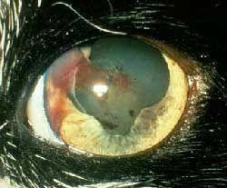 Кръвоизлив в предната камера на окото котки, причинени от хипертензия