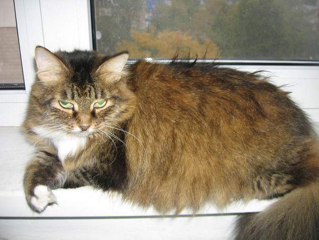 Hypertyreóza u mačiek.