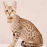 rasa pisici hipoalergenice