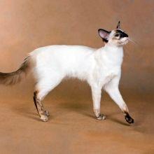 pisică balinez (Balinese, balinez)