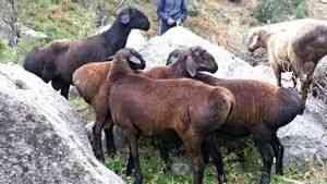 oi Gissar și oi