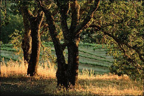 Copac de pe câmpul de fundal. Foto, Foto