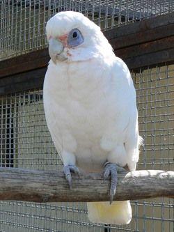 Micul Corella (sanguinea Cacatua sau sanguinea kakatoe)