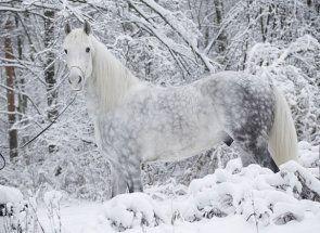 Ponos ruskog uzgoja konja - Orlov Trotter