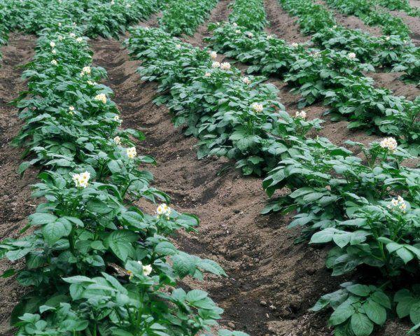 Hnojív zemiakov prepeličích trus