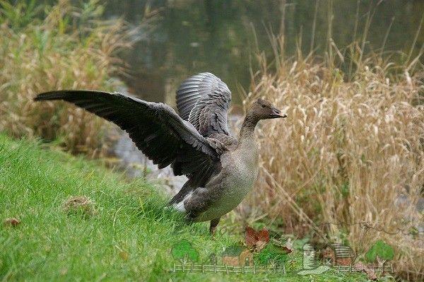 Bean - Goose trofeu de vânătoare