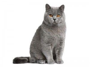 Естеството на британските котки