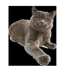 Характерът и поведението на британските котки