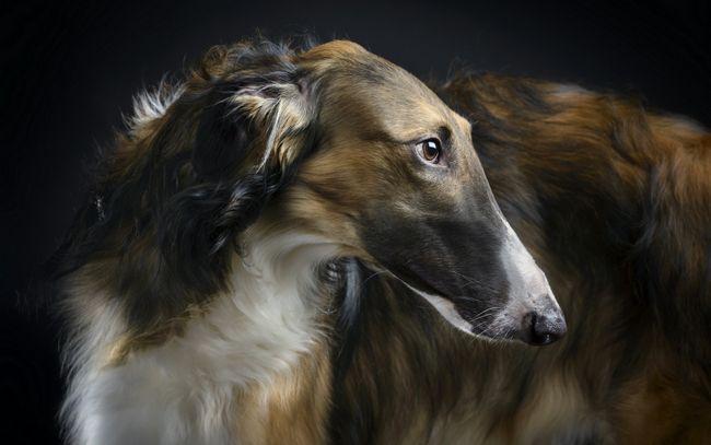 Psie plemeno ruský Borzoi