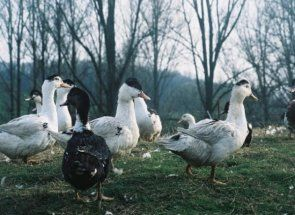 Jin i jang - sve o bijeloj i dvobojnim patka