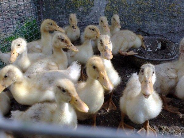 Украински бяла патица в къщата