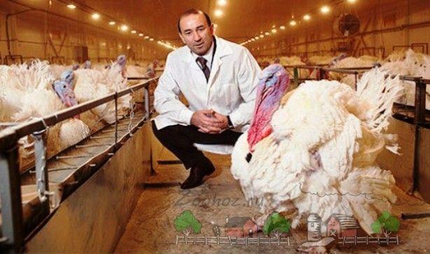 Turcia Mare Big 6 fotografie păsări agricole