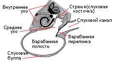 Vodičský mačky ucho