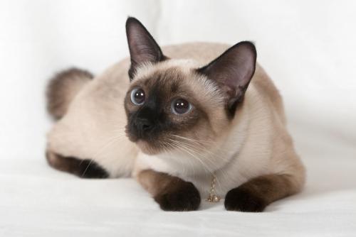 Date despre pisici siameze si pisoi