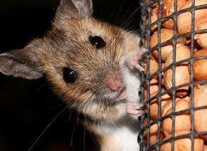 Vyhnať všetky myší a krýs kurníku