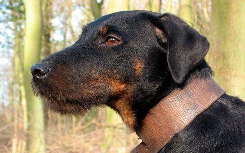 Yagdterer: čelik lik za iskusne uzgajivače pasa