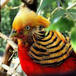 Muško Zlatni fazan