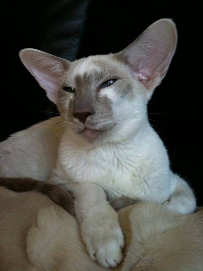 Javaneză Cat pisica rasa