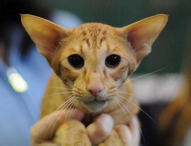 Pisica Javaneză este aspectul său seamănă orientală