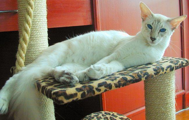 Javanez Cat - animal subtil și elegant