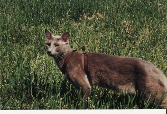 Pisica Cat Javaneză rasa fizic perfect suprapuse