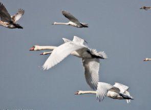 Je Swan ptice selice?
