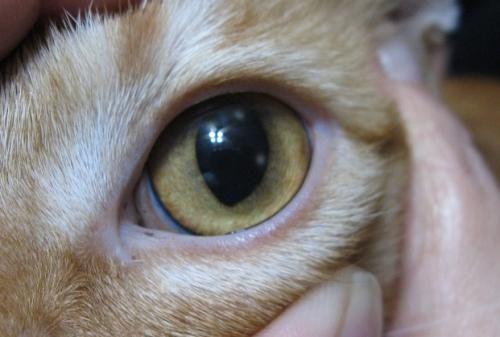 rohovkovej vredy u mačiek - siptomy a liečba