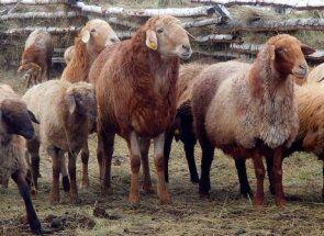 Edilbaevskie ovce - dedičstvo kočovných kŕdľov Kazachstanu