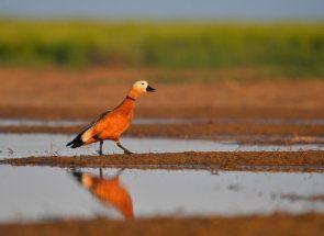 Egzotične narančasta duck Ruddy - još jedna misterija prirode