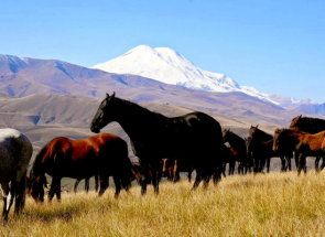 Kabarda sau rasa cerchez - cai Muntii Caucaz