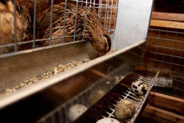 Quail zobáky potraviny zo žľabu