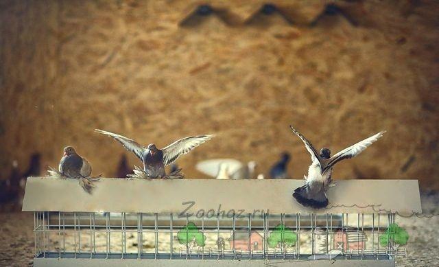 porumbei Foto lângă un jgheab de alimentare