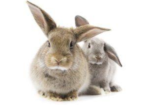 Ako kastrovaný králik sám?
