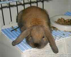 Hrana pentru ei sunt considerate rădăcini, fân și iarbă. iepuri Hrănirea poate fi realizată cu tot felul de ierburi.