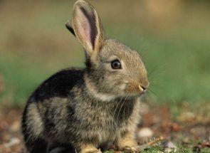 Ako sa správať králiky z hnačky?