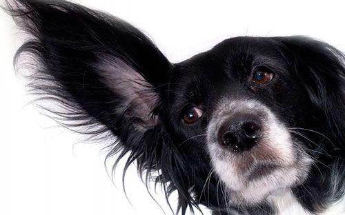 Pes s veľkými ušami