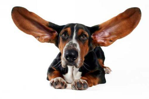 uši psa