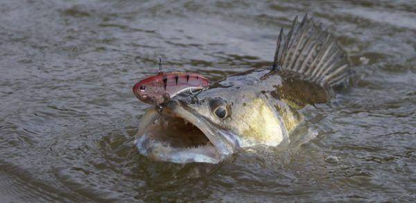 Ako chytiť Walleye na jar na pradenie
