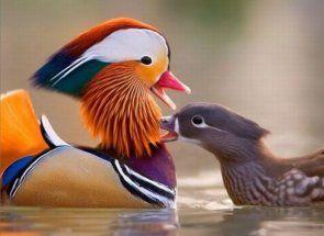 Ako súťaže krásy - kačica s mimoriadnym vzhľad