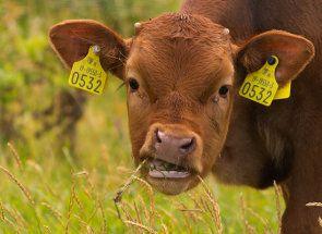 Ako volať kravy?