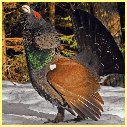 Ako lov tetrov zime: podrobný opis procesu