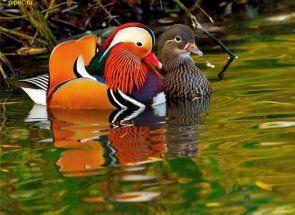 Kako razlikovati muškog od ženskog patka: demontira sve poznate metode