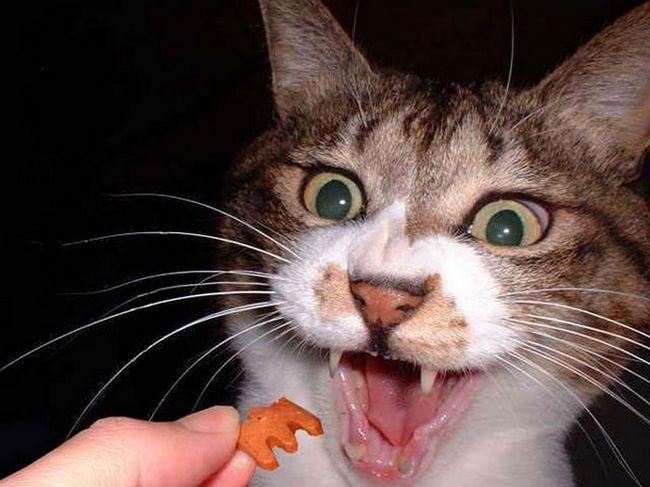 Ako odstaviť mačku z Whiskas