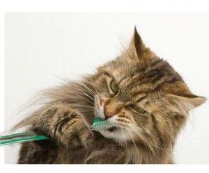 Ako čistiť zuby mačka