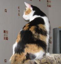 kaliko mačka
