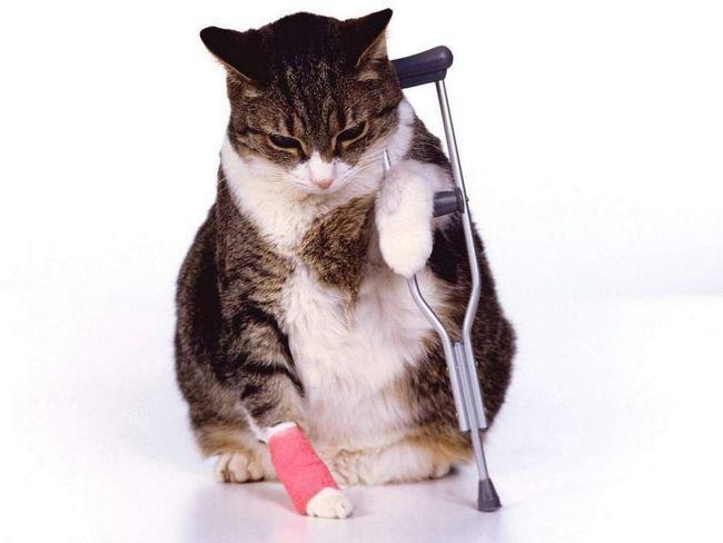 Keď mačka je chorá, vlnená deka vyblednutý, strapatý, dochádza k vypadávaniu vlasov, a môžete zmeniť jeho farbu.