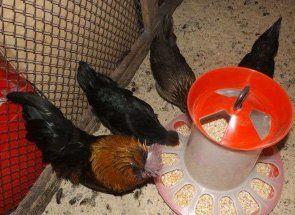 Ako postaviť vtáčie krmítko pre sliepky s rukami?